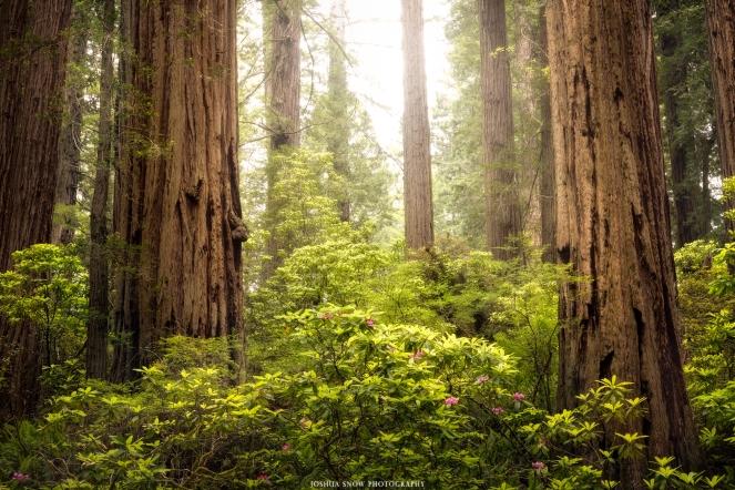 Del Norte Redwood Rhododendron Horizontal - Copy