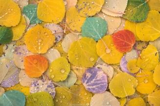 Aspen Leaves Intimate copy